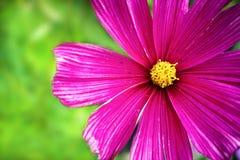 """Bipinnatus pourpre et rose de cosmos de  de Cosmos†d'""""Wild de fleur sauvage fleurissant photo de macro pendant de ressort et Image stock"""