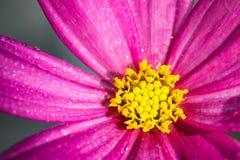 """Bipinnatus pourpre rose de cosmos de  de Cosmos†d'""""Wild de fleur sauvage, couvert par des gouttelettes d'eau après la pluie, Images libres de droits"""