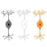 Bipolar neuron, nerve cells neurons Stock Photos