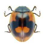 甲虫瓢虫阿达利亚bipunctata 库存照片