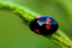 Bipunctata Adalia Ladybird жука Стоковое Изображение RF
