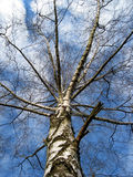 The birch 1. The birch is waxing into the sky Royalty Free Stock Image