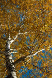 Birch 1 Stock Photography