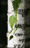 Birch. Tree and his leaf Stock Image