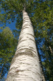 Birch Stock Photos