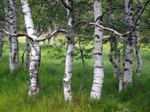 Birch. Group of birch trees with green grass stock images