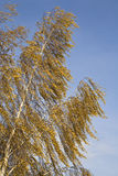 Birch. With yellow leaves in autumn Royalty Free Stock Image