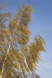 Birch Royalty Free Stock Image