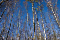 Birch. Grove of birch in sunny day Stock Photo