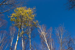 Birch. Grove of birch in sunny day Stock Image