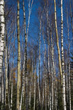 Birch. Grove of birch in sunny day Stock Images