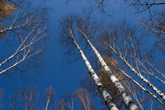 Birch. Grove of birch in sunny day Royalty Free Stock Photography