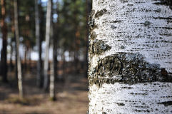 Birch. Close up on the forest background Stock Photo