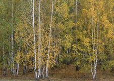 Birch Stock Photography