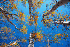 Free Birch Royalty Free Stock Images - 12398229