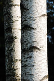 Birch. Details of two Birch trees in the park Stock Images