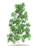 Birch. One metre on a white background. It's 3D image Stock Photos