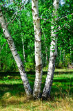 Birch Royalty Free Stock Images