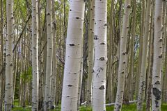 Free Birch Royalty Free Stock Images - 16469029