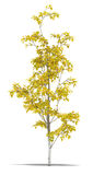 Birch. One metre on a white background. It's 3D image Royalty Free Stock Image
