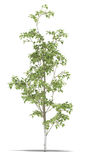 Birch. One metre on a white background. It's 3D image Stock Image