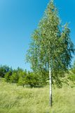 Birch 2 Stock Photos