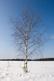 Birch. With blue sky at winter season Royalty Free Stock Images
