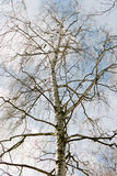 The birch. Royalty Free Stock Photo