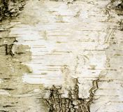 Birch. Natural bark of birch useful for backgrounds Royalty Free Stock Photos