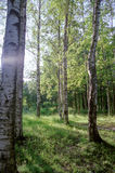 Birch. Landscape with birch trees in the Park near St. Petersburg Lomonosov Royalty Free Stock Image