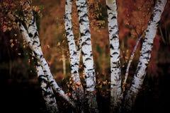 Birch Stock Photography