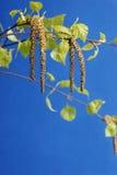 birch Fotografia Stock