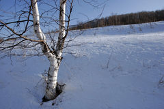 Birch. Tree in winter Stock Photography
