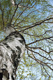 Birch. The old birch has dismissed leaves in the spring Royalty Free Stock Images