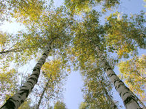 The birch 6. Two birches and sky royalty free stock image