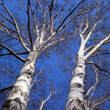 Birch. Trees stock photo