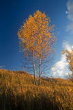 Birch royalty free stock photos