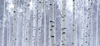 Free Birch Stock Image - 7806511