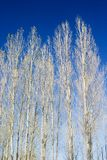 Birch. Grove of birch in sunny day Royalty Free Stock Photo