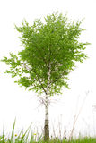 Birch Royalty Free Stock Photo