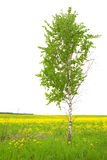 Birch Royalty Free Stock Photos