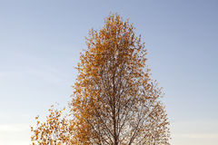 Birch against blue sky Stock Images