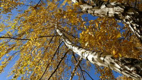 Birch against the sky at an angle in the fall. 2015 stock footage