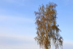 Birch against the sky. Stock Photography