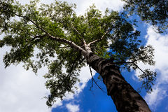 A birch against the sky Stock Images