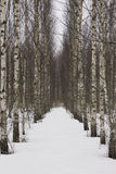 Birch aisle Royalty Free Stock Image