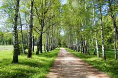 Birch alley. Alley in Yasnaya Polyana (L. Tolstoy country-seat), Russia Royalty Free Stock Images