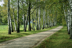 Birch alley Royalty Free Stock Images