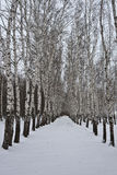 Birch alley Royalty Free Stock Image
