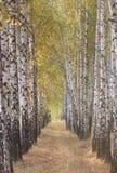 Birch alley. In Ukraine stock images